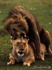 Procuro leoa no cio